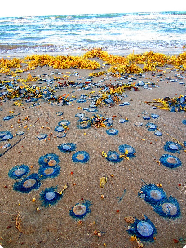 Порпиты (лат. Porpita porpita) или синие кнопки