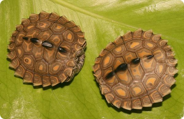 Кольчатая горбатая черепаха (лат. Graptemys oculifera)