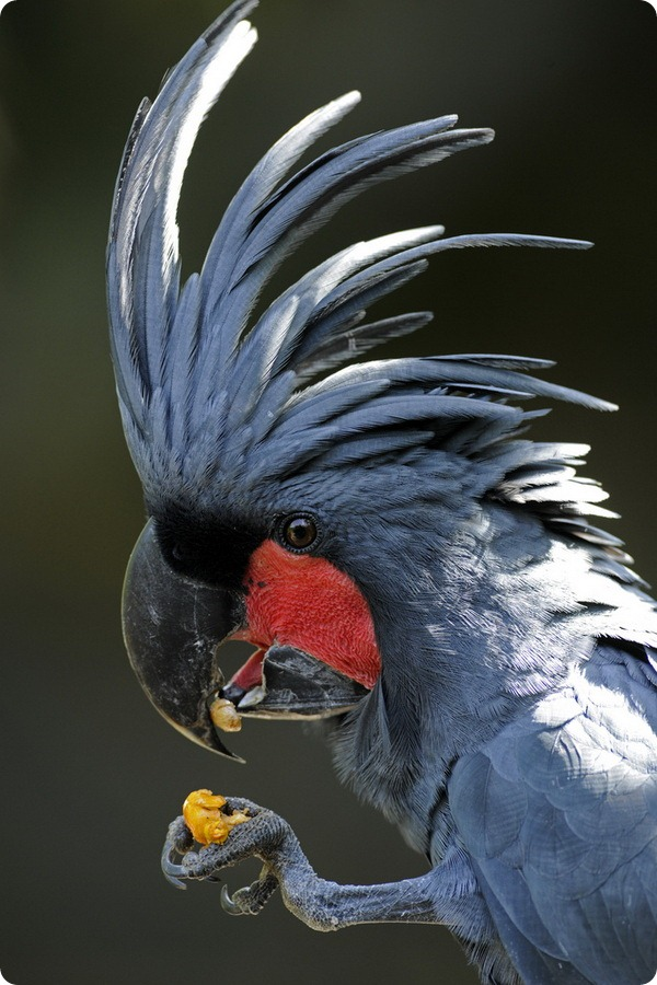 Черный какаду (лат. Probosciger aterrimus)