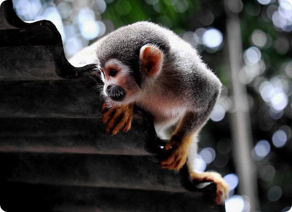 Обыкновенная беличья обезьяна (лат. Saimiri sciureus)