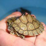 Кольчатая горбатая черепаха