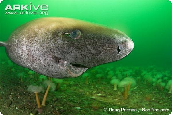 Гренландская полярная акула (лат. Somniosus microcephalus)