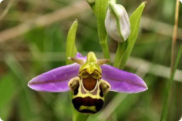 офрис пчелоносная (лат. Ophrys apifera)
