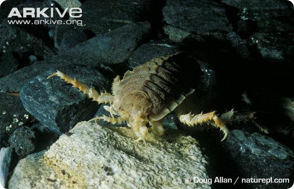 Гигантская антарктическая изопода (лат. Glyptonotus antarcticus)