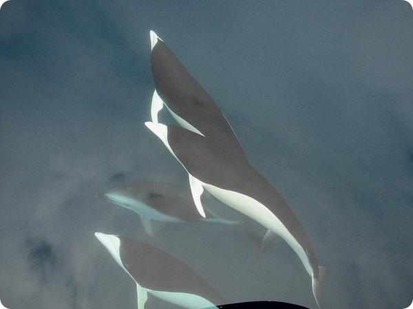 Южные китовидные дельфины (лат. Lissodelphis peronii)