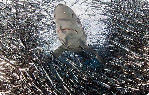 Поедающий акул