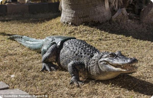 Новый хвост для крокодила Стаббса