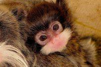 Парочка тамариново из зоопарка Бенхема