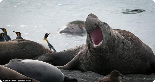 Морские слоны от Джастина Хофмана