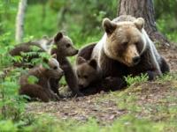 Опасная прогулка медведей