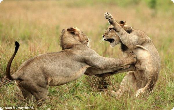 Потасовка между львятами