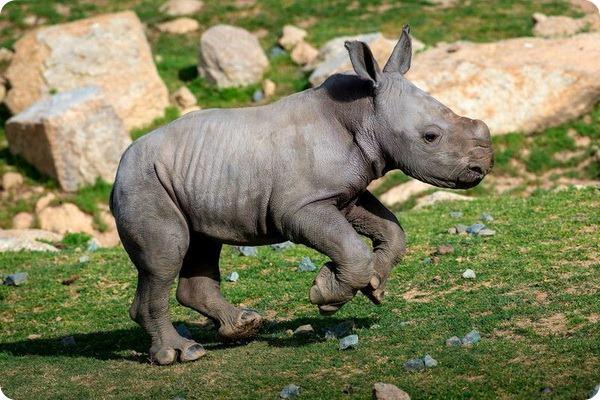 Детеныш белого носорога из Сан-Диего