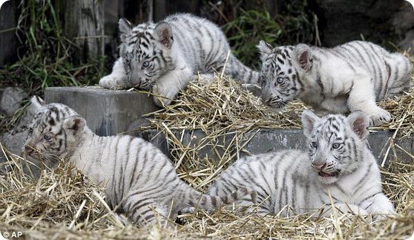 Редкие белые тигрята из зоопарка Аргентины