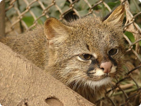 Колоколо (лат. Leopardus colocolo)