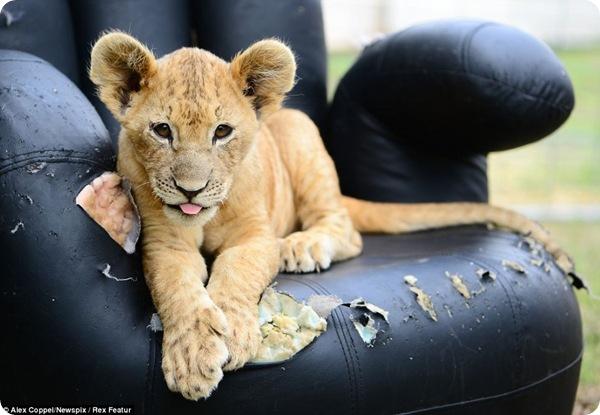 Завтрак со львом