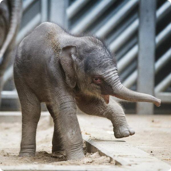 Слоненок из Праги научился пользоваться хоботом