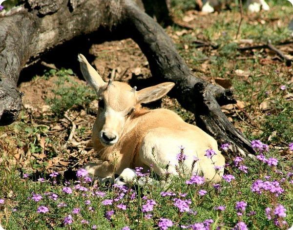 Детеныш редкой антилопы из Taronga Zoo