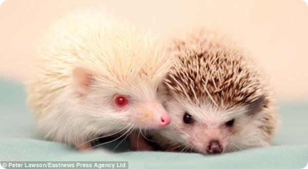 Ёжик-альбинос Экстра и его новый друг