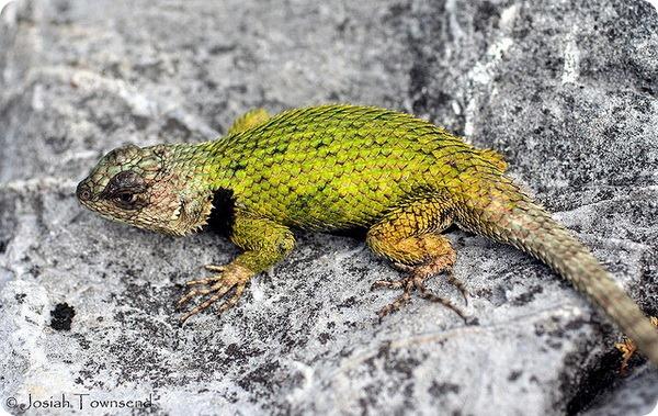 Малахитовая игуана (лат. Sceloporus malachiticus)