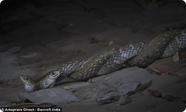 Змеиный ритуал