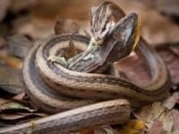 Схватка змеи и хамелеона