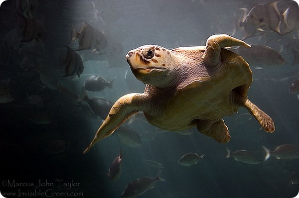 Логгерхед или головастая черепаха (лат. Caretta caretta)