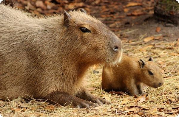 Brevard Zoo представил детенышей капибары