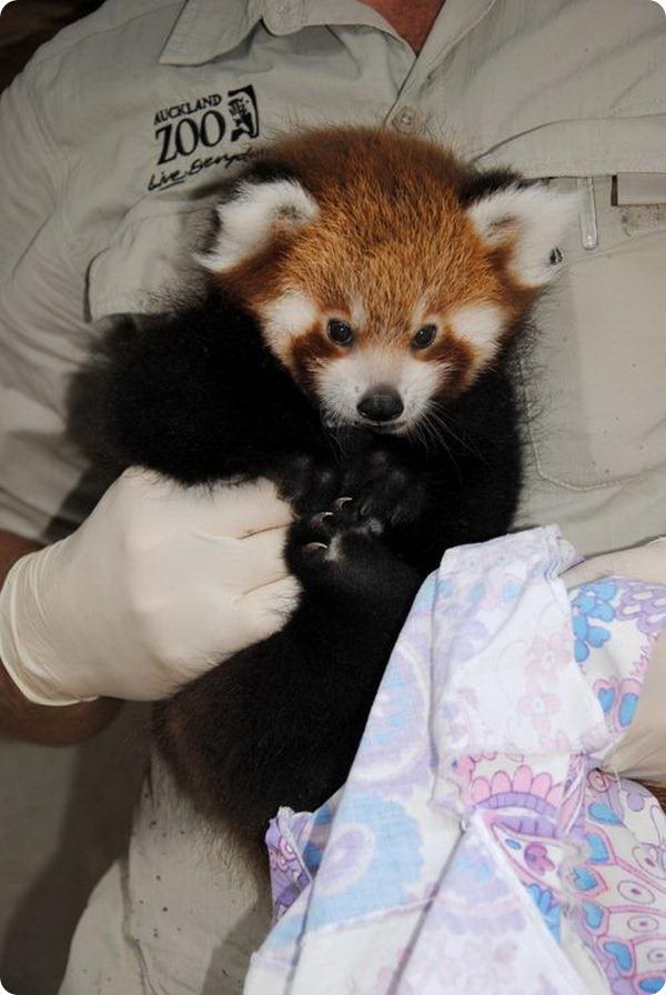 Детеныш красной панды обрел имя