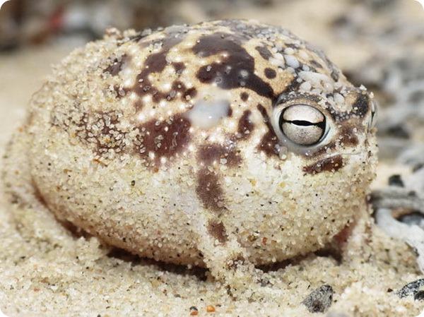 Африканская дождевая лягушка (лат. Breviceps namaquensis)