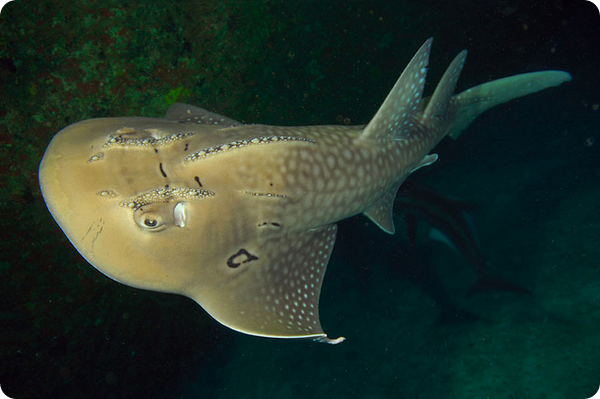 Акулий скат (лат. Rhina ancylostoma)