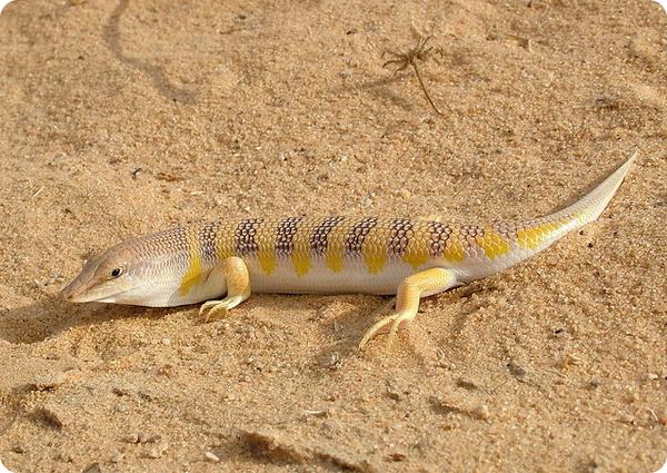 Аптечный сцинк или песчаная рыба (лат. Scincus scincus)