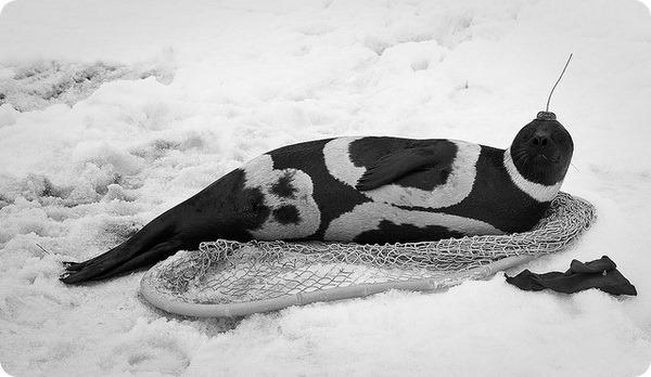 Полосатый тюлень или крылатка (лат. Histriophoca fasciata)