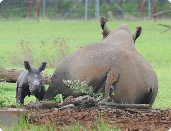 Детеныш белого носорога из Australia Zoo