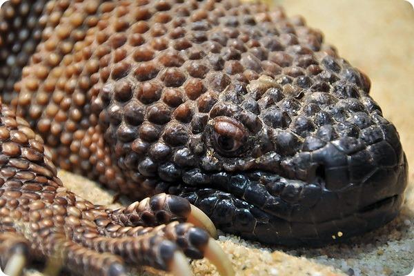 Аризонский ядозуб или жилатье (лат. Heloderma suspectum)