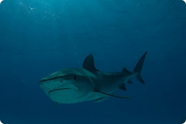 Тигровая акула (лат. Galeocerdo cuvier)