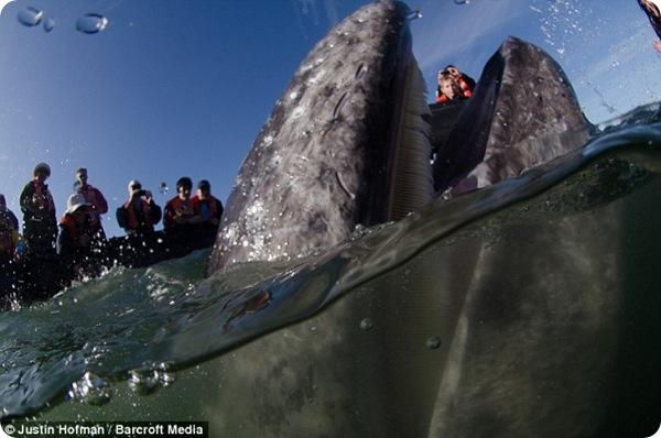 Встреча с серыми китами