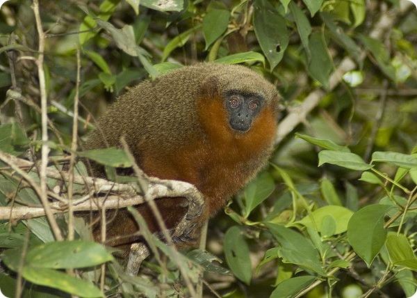 Прыгуны-молохи (лат. Callicebus moloch)