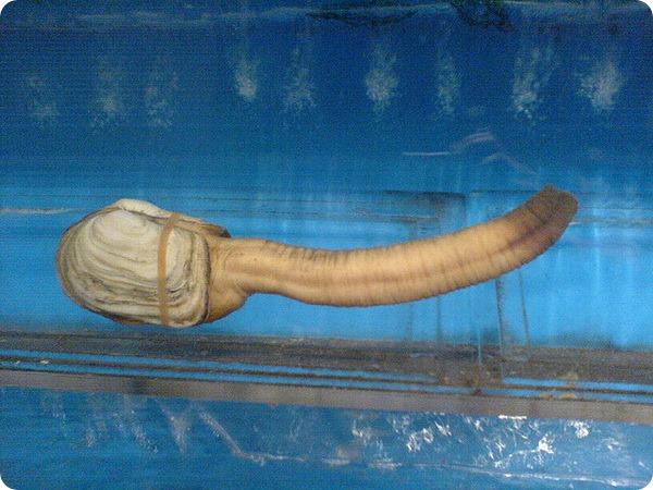 Гуидак (лат. Panopea generosa)