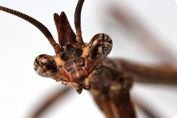 Техасский богомол (лат. Phyllovates chlorophaena)