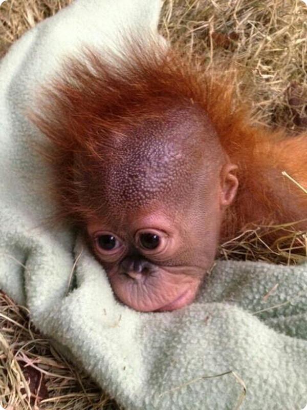 Детеныш орангутана и его мать - снова вместе