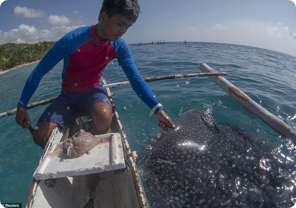 Ручные китовые акулы