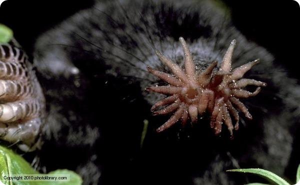 Звездонос или звездорыл (лат. Condylura cristata)