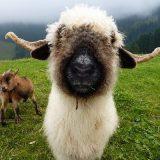 Валлисские черноносые овцы