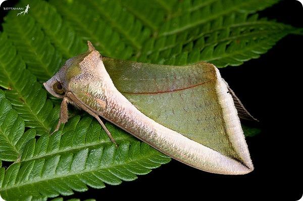 Совка Eudocima salaminia