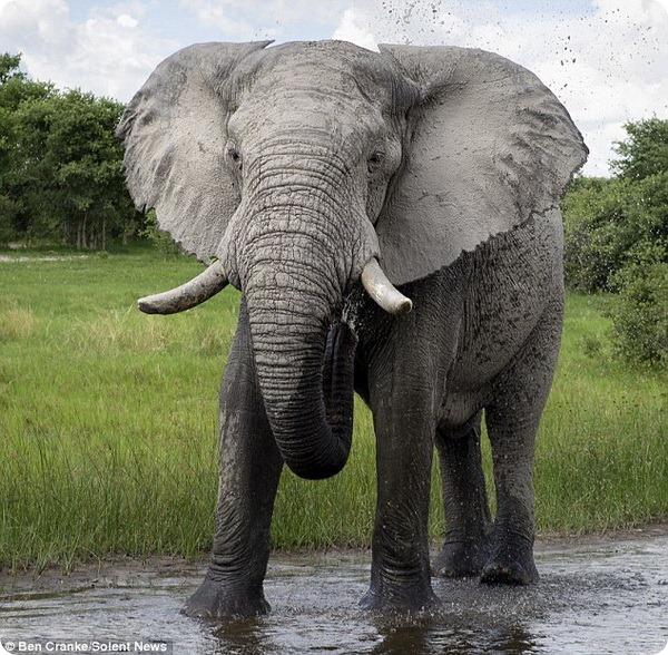 Опасная встреча с африканским слоном