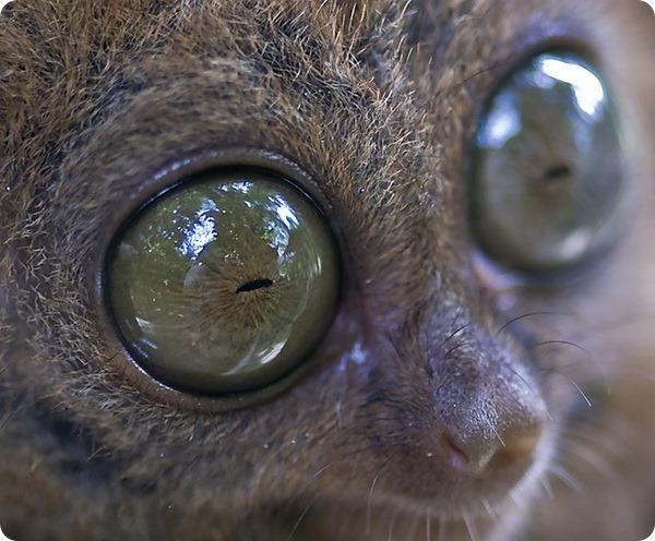 Филиппинский долгопят (лат. Tarsius syrichta)
