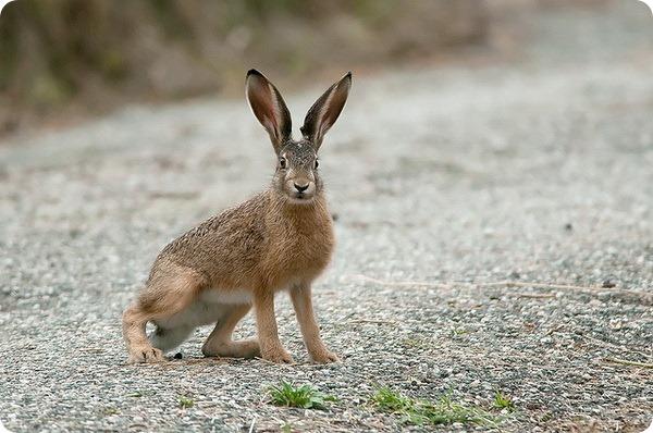 Заяц-русак (лат. Lepus europaeus)