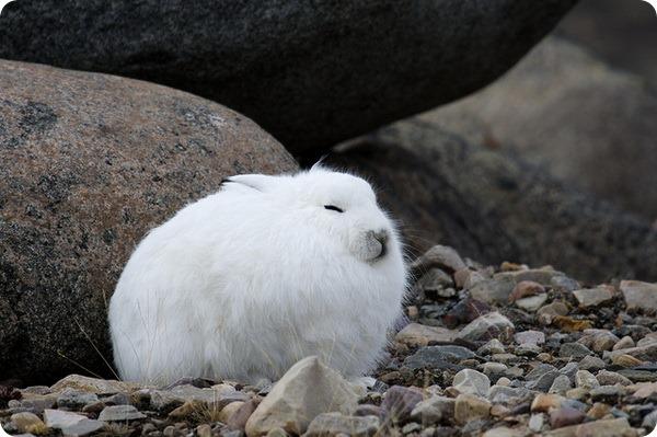 Арктический беляк (лат. Lepus arcticus)