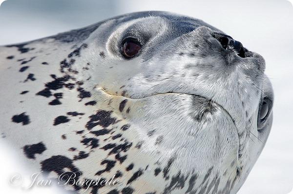 Морской леопард (лат. Hydrurga leptonyx)