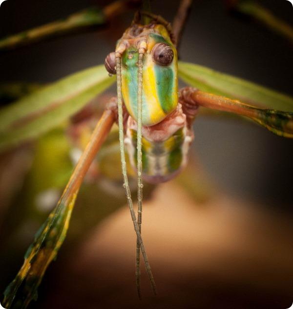 Палочник-голиаф (лат. Eurycnema goliath)